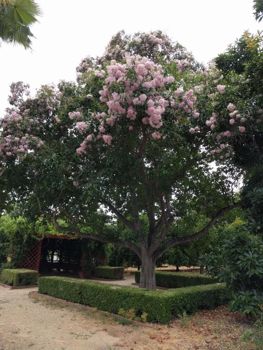 The Calodendrum Capense tree at the Fullerton Arboretum.