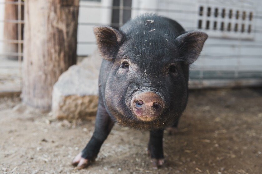 Han Solo, 4-month-old, potbelly pig is Pet of the Week.
