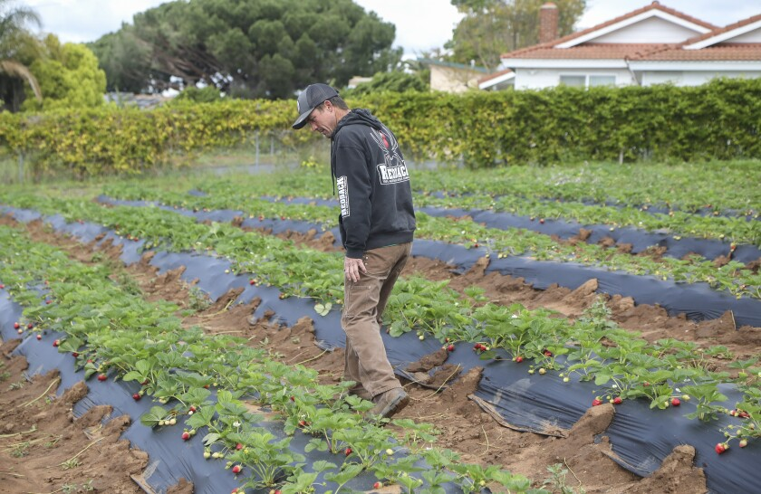 Farmer Luke Girling inspects strawberries growing on his Cyclops Farm in Oceansideon March 20. Girling says they will be harvesting strawberries and selling them along with other produce at his farm stand this Saturday and Sunday from 9am-12pm in the Fire Mountain area of Oceanside. Demand for his produce has doubled in the last couple of weeks according to Girling.