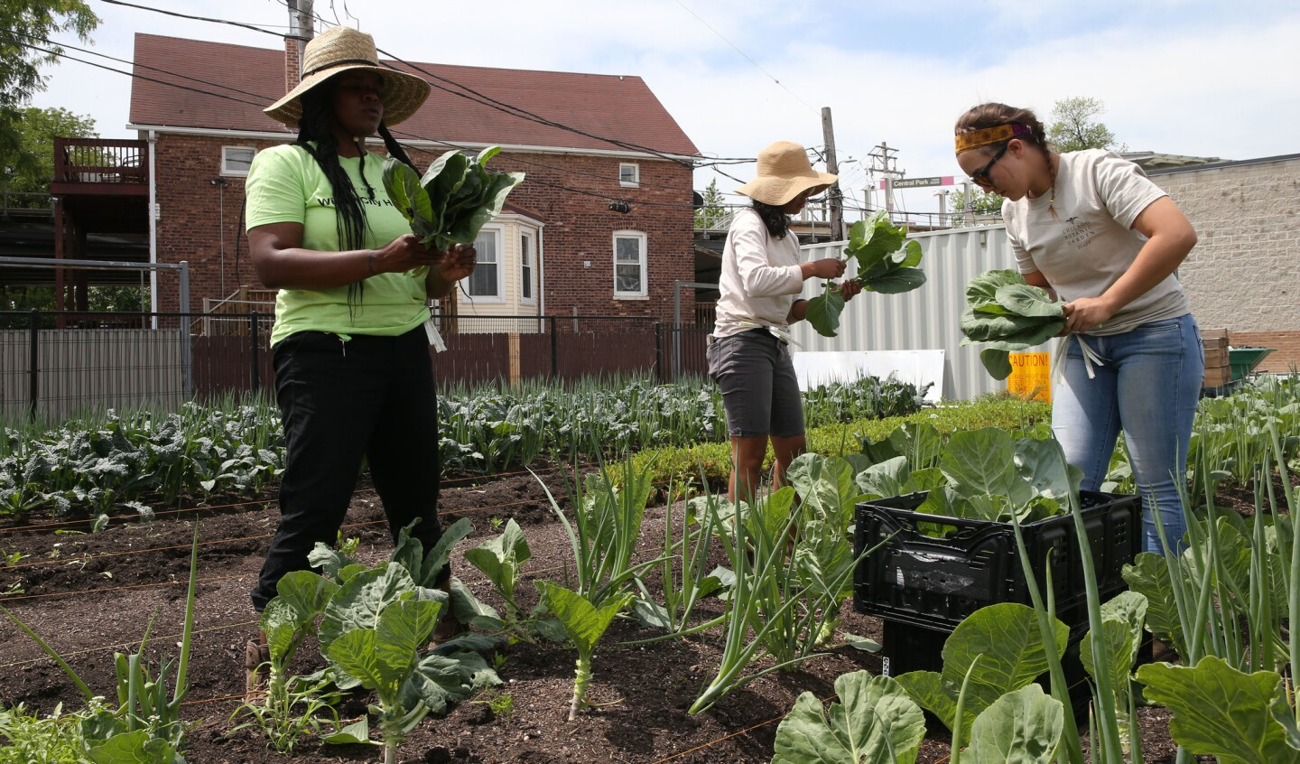 Apprentice Kimberly Jones, from left, grower Michelle Gray and college intern Robyn Van Staalduinen harvest collard greens June 6, 2018, at the Farm on Ogden, a 20,000-square-foot urban farm set to open June 22 in Chicago's North Lawndale community. The Farm on Ogden is a partnership between Lawndale Christian Health Center and the Chicago Botanic Garden.