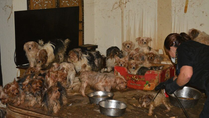 Investigators found several dozen Yorkie mixes in the Poway home. The dogs' coats were severely matted and tangled in feces, and many were suffering from ear infections, fleas and hair loss.