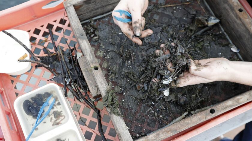 Costa Mesa High School AP environmental science student Rachael Kricorian, 17, sorts through the mud