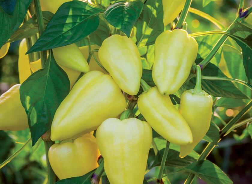 burpee peppers.jpg