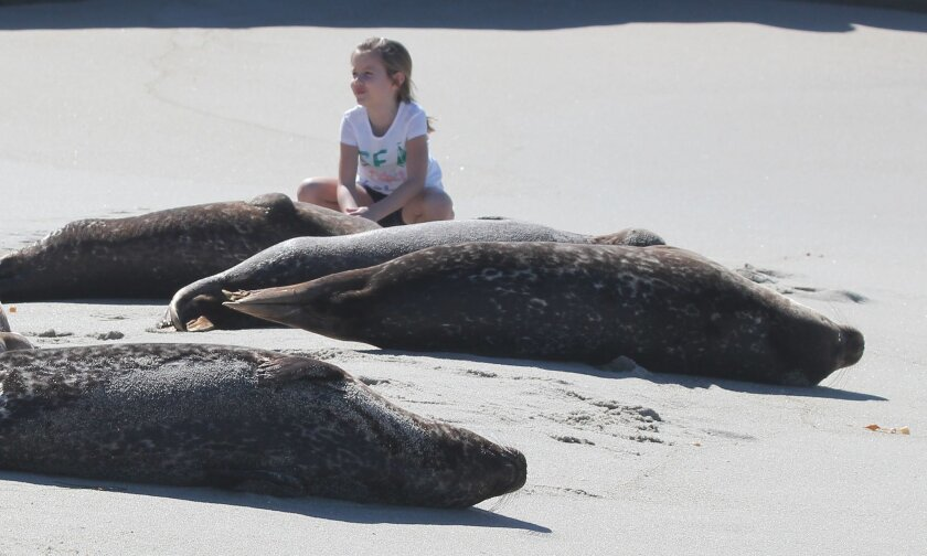 How close is too close to get from harbor seals? Exhibit A. — Without a park ranger or Seal Conservancy docent present to advise otherwise, tourists crowd in on harbor seals and their pups at La Jolla's South Casa Beach in this photo from March 5, 2015.