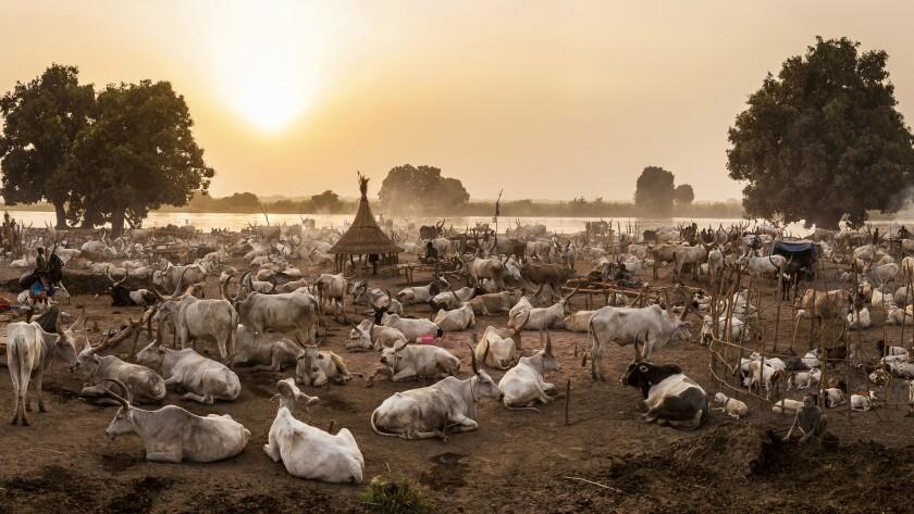 Mundari cattle farmers