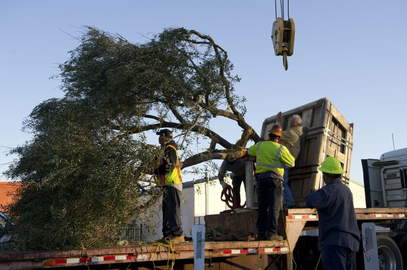 March 13th, 2013, Escondido, California, USA. |Steve Smith (tan jacket), a landscape contractor, talks with his crew members as they prepare to lift an olive tree off a flatbed trailer with help of a crane, at the construction site of Escondido Heritage Garden on Wednesday, March 13th, 2013. The pa