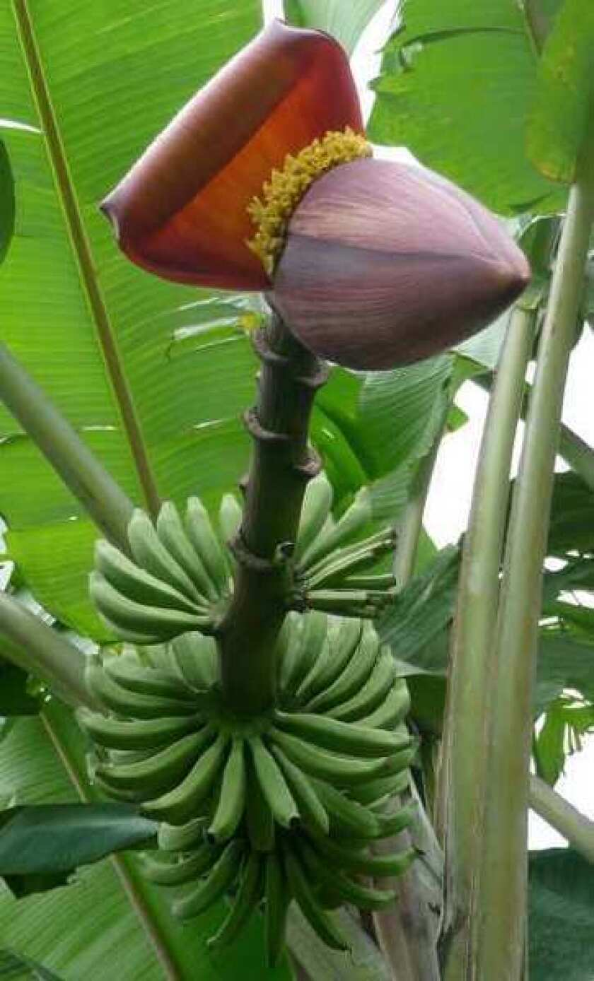 Bananas and genetic engineering: Past, present and future