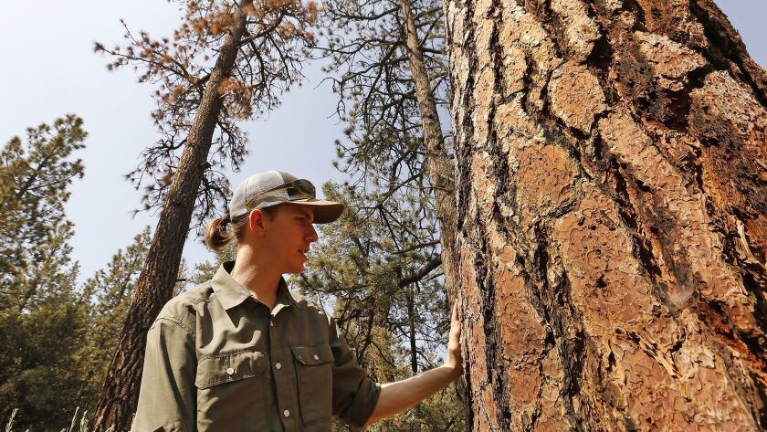 Bryant Baker, conservation director with Los Padres Forest Watch, examines a tree in the mixed conifer forest in the Tecuya Ridge area of the Los Padres Forest near Frazier Park.