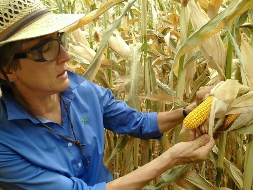 Renee Lafitte, a research fellow at Pioneer's facility in Woodland, Calif., examines an ear in one of the plots where the biotech company conducts research to develop drought-tolerant corn.