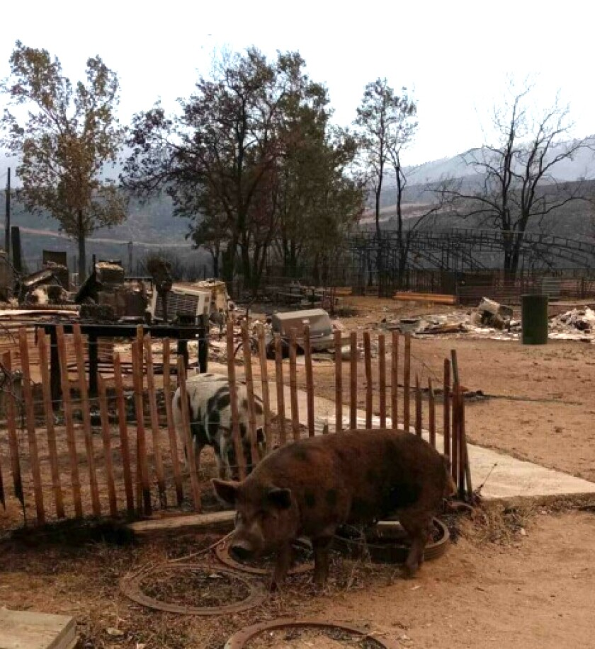 Mike Snook's pigs, Biscuit and Gravy, survived the Beckwourth Complex fire.