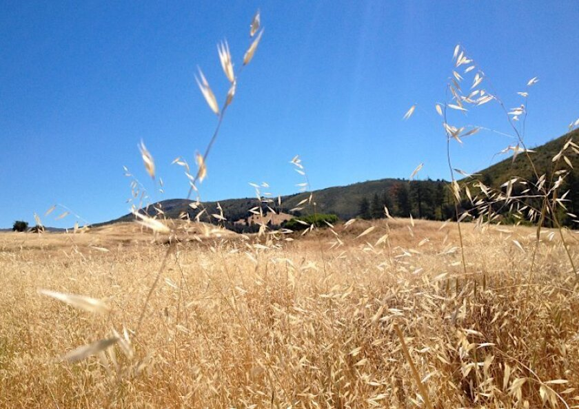Most of the short grasses are already dry at Cuyamaca Ranch State Park.