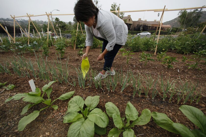 Garden volunteer Yanira Majano waters a row of onions in a community garden in Poway.