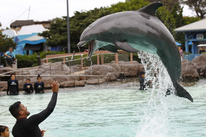 Trainer Jorge Villa feeds a dolphin as patients from Rady Children's Hospital had the chance to visit with bottle nose dolphins at SeaWorld San Diego on Monday, Sept. 18, 2017. (Photo by K.C. Alfred/The San Diego Union-Tribune)
