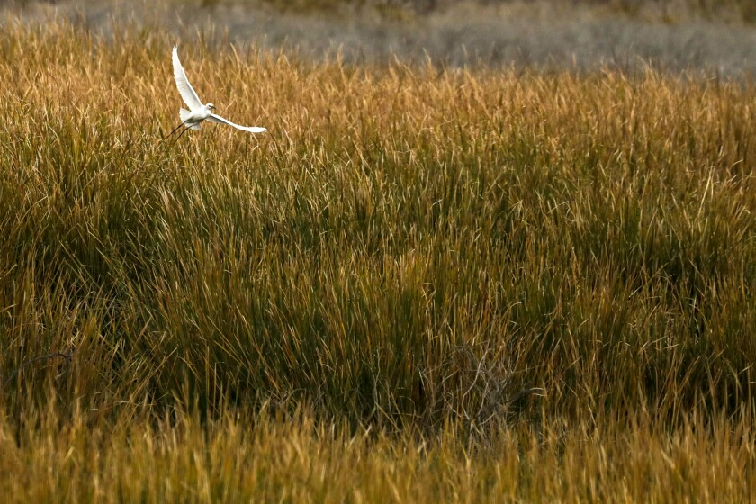 An egret soars through lush marshlands that have formed at the Salton Sea.