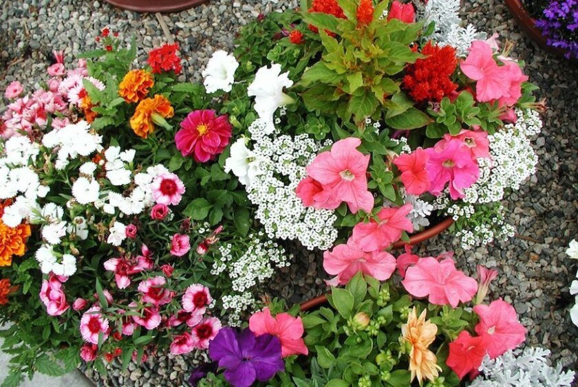 Welcome Spring With Colorful Flowers The San Diego Union Tribune