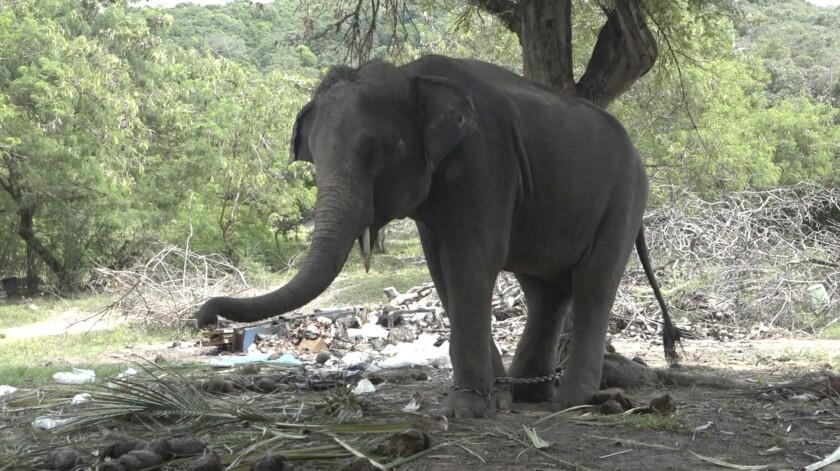 Un elefante llamado Rambo está encadenado a un árbol en la isla de Samui, Tailandia. El elefante mató a un turista escocés al arrojarlo al suelo y clavarle el colmillo. (AP Foto)