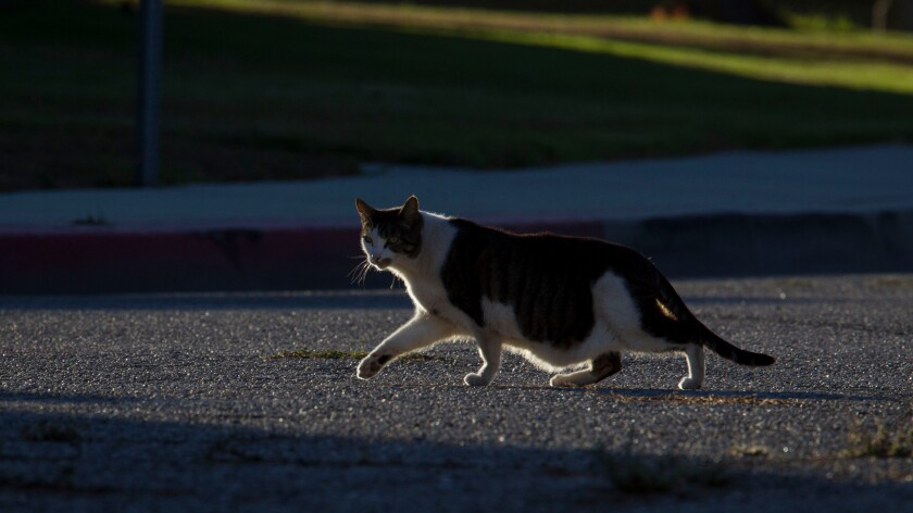 A stray cat crosses a road outside of a vacant apartment building in Venice, Calif. in 2012.