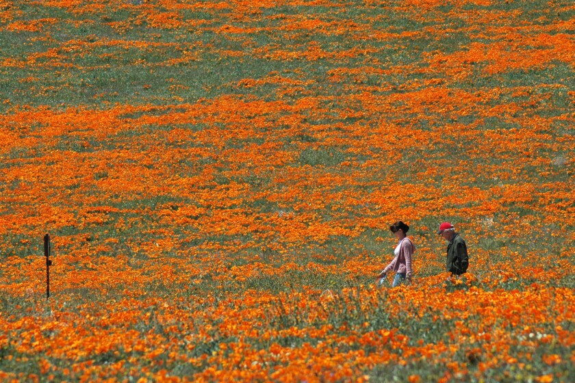Visitors hike through dense California poppy blooms in 2008, one of the most recent great wildflower seasons at the Antelope Valley California Poppy Reserve.