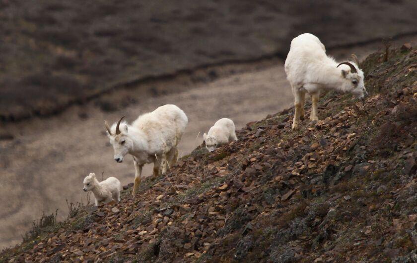 Sheep nibble on a hillside in Alaska's Denali National Park.