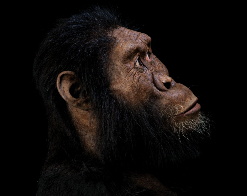 A facial reconstruction of the newly discovered hominin cranium