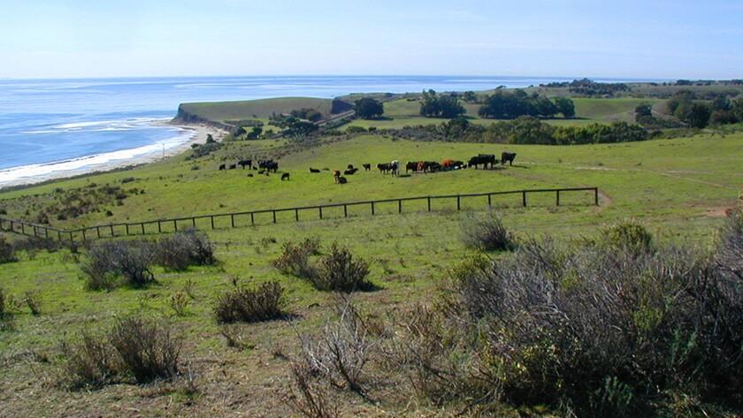 Cattle graze on Hollister Ranch in Santa Barbara County.