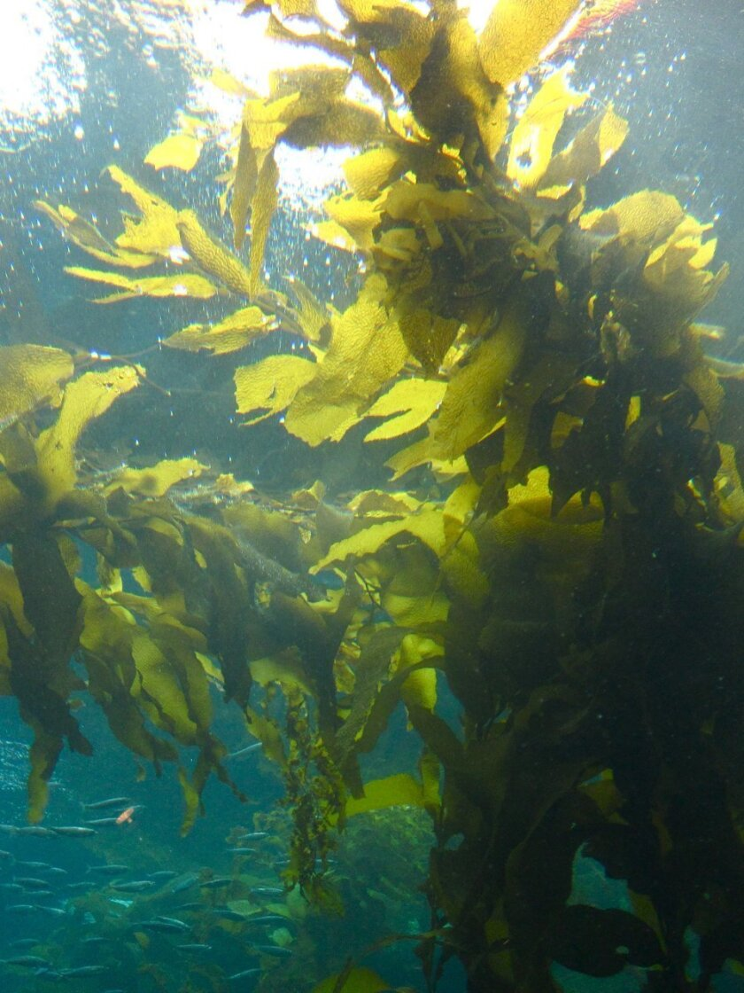 Giant kelp near the surface of the water. Photos by Kelly Stewart