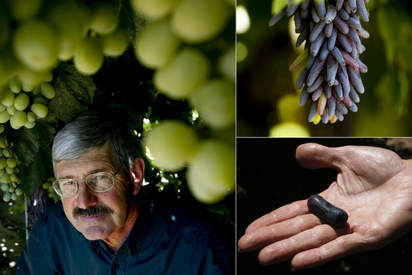 Clockwise from left: Geneticist David Crain poses for a portrait with the Cotton Candy Grape; International Fruit Genetics' Witch Finger grapes; and the Sweet Sapphire grape.