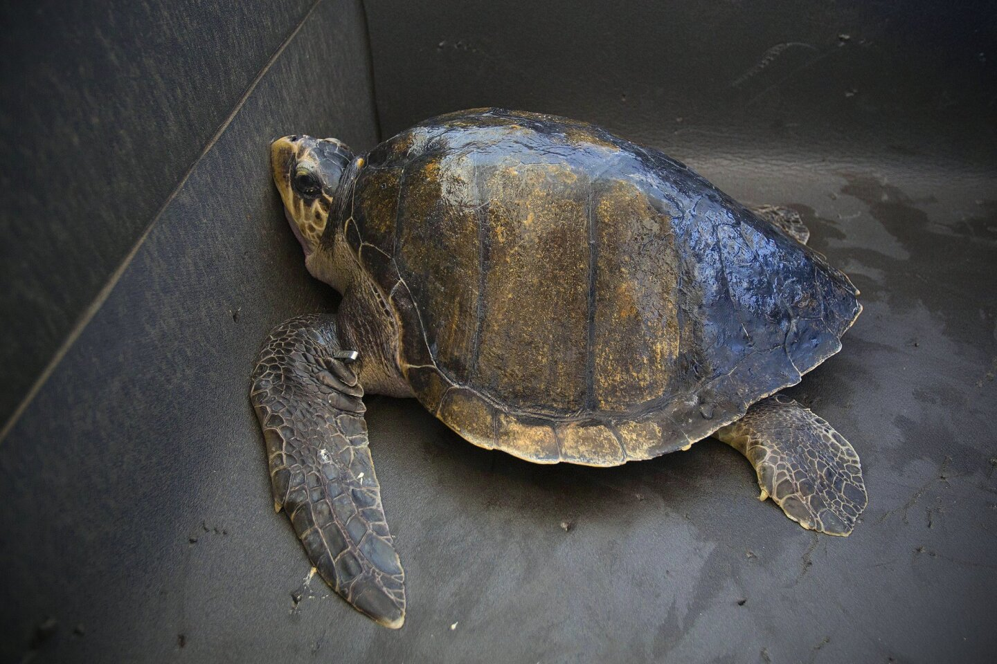 Solstice the sea turtle waits to be transported to SeaWorld's Rescue Center.