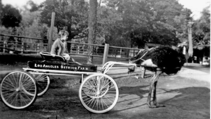 Judy Mislay Gorham is pictured in 1940 on a wagon drawn by an ostrich at the Los Angeles Ostrich Far