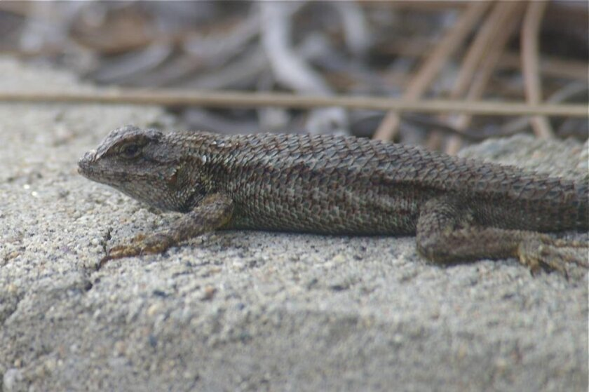 Fence lizards look almost black early in the morning before the sun warms them.