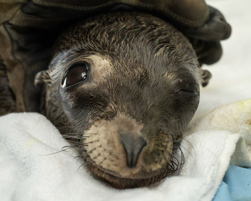 The sea lion pup that wandered into the Marine Room in La Jolla is recovering at SeaWorld's Animal Rescue Center.