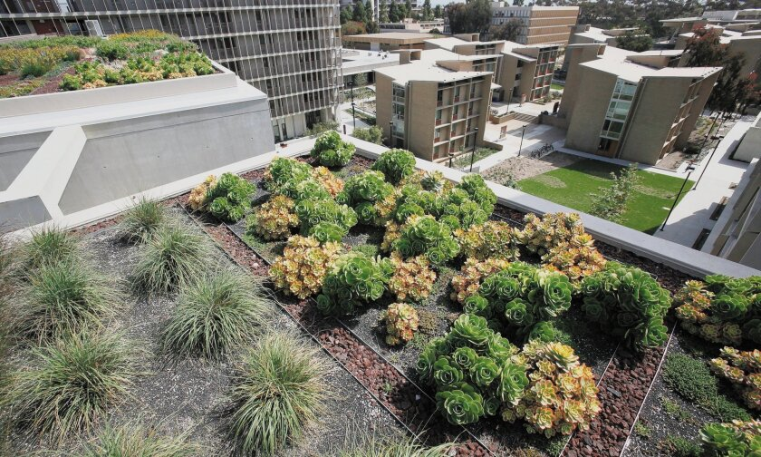 The roof of Charles Keeling Apartments at the Revelle College at UC San Diego was planted with drought- tolerant plants last summer, and it's thriving today.
