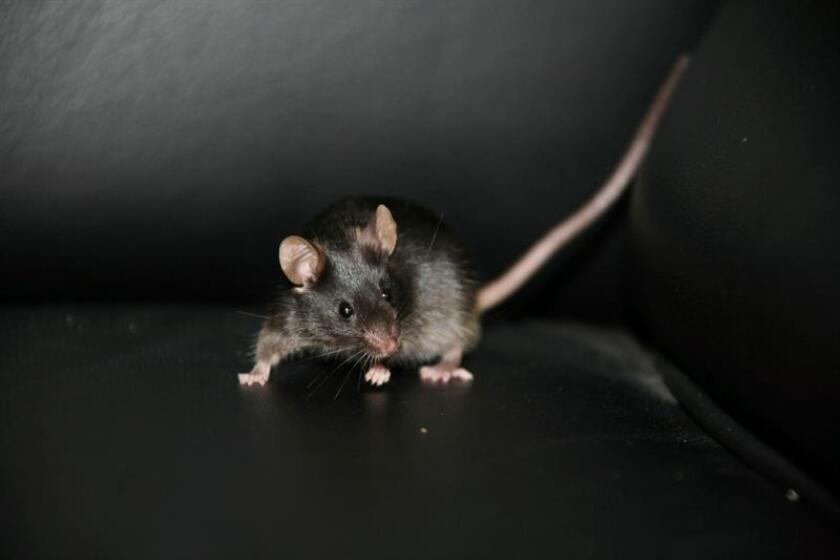 El estudio de las canciones de los ratones de los bosques de Costa Rica ha permitido descubrir el circuito cerebral que permite los rápidos toma y daca de las conversaciones, lo que puede ayudar a tratar enfermedades como el autismo, reveló un estudio divulgado hoy por la revista Science. EFE/Doctor Qi Zhou/SÓLO USO EDITORIAL