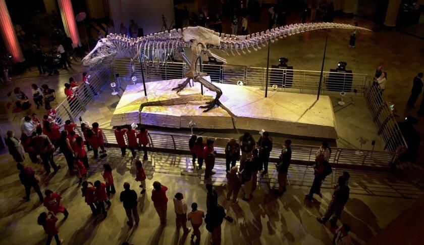 En esta foto se ve a Sue, el esqueleto más grande y completo de un Tiranosaurio Rex jamás encontrado, en el Museo Field de Historia Natural en Chicago. Un examen científico dado a conocer el 14 de octubre de 2016 mostró que Sue no usaba mucho sus diminutos brazos. El tamaño de los brazos de los T. Rex es un persistente misterio de la paleontología. (AP Foto/M. Spencer Green, Archivo)