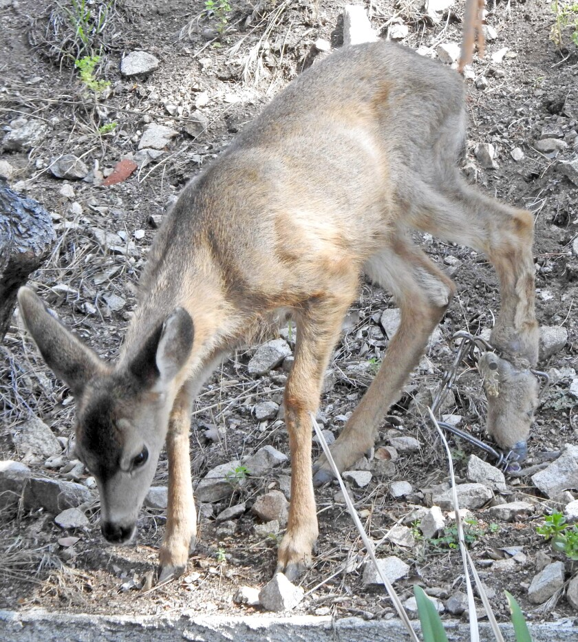 Hobbled fawn is rescued but dies after illegal trap removed by officials
