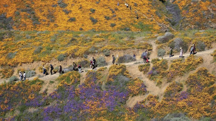 LAKE ELSINORE, CALIF. -- MONDAY, MARCH 18, 2019: Surrounded by the wildflower super bloom, large cro