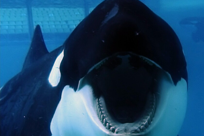 "Tilikum in a scene from the movie ""Blackfish."""