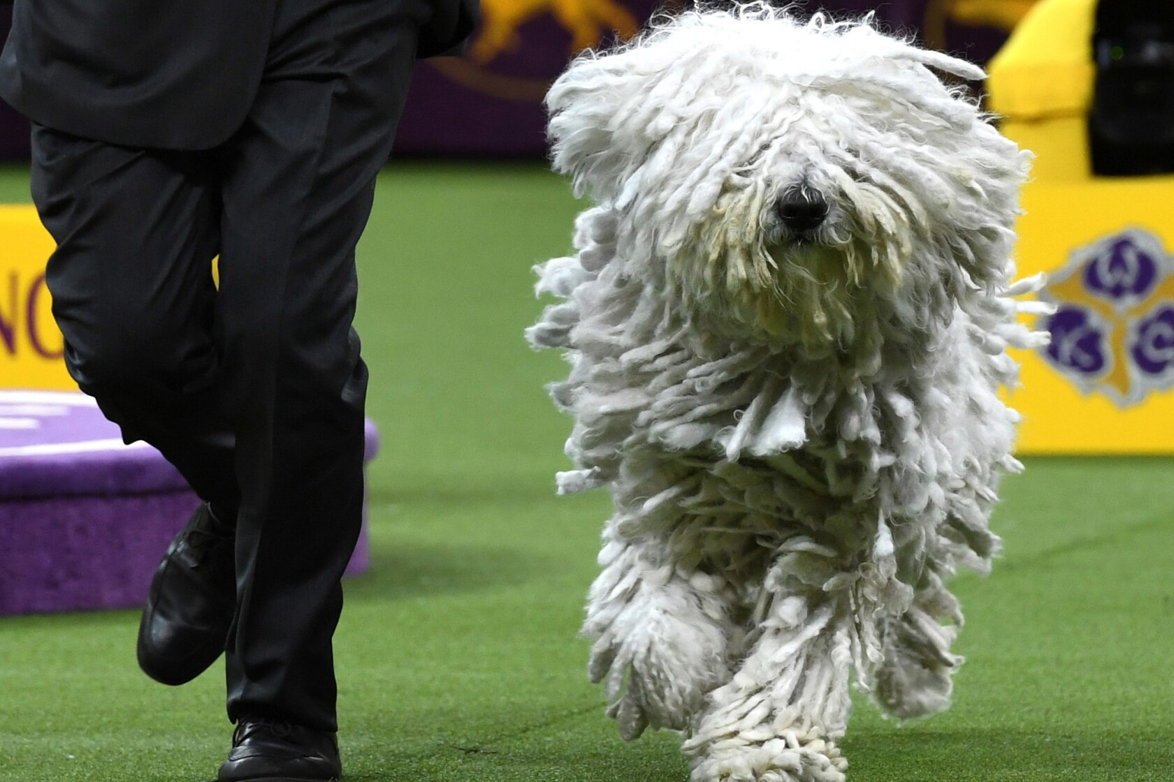 At Westminster dog show, King the wire fox terrier takes the
