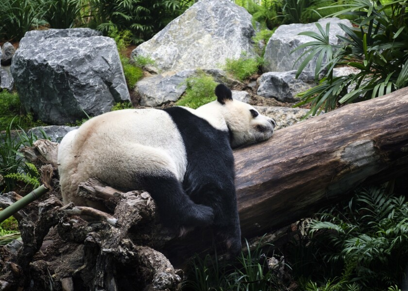 Da Mao sleeps at the Calgary Zoo during the opening of its giant panda habitat on May 7, 2018. His stay at the zoo is being cut short because the pandemic has interrupted its supply of fresh bamboo.