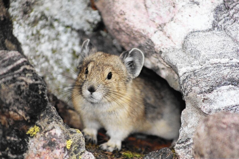 Pikas are disappearing from the hottest and driest parts of the Sierra Nevada and Rocky Mountains as global temperatures rise.
