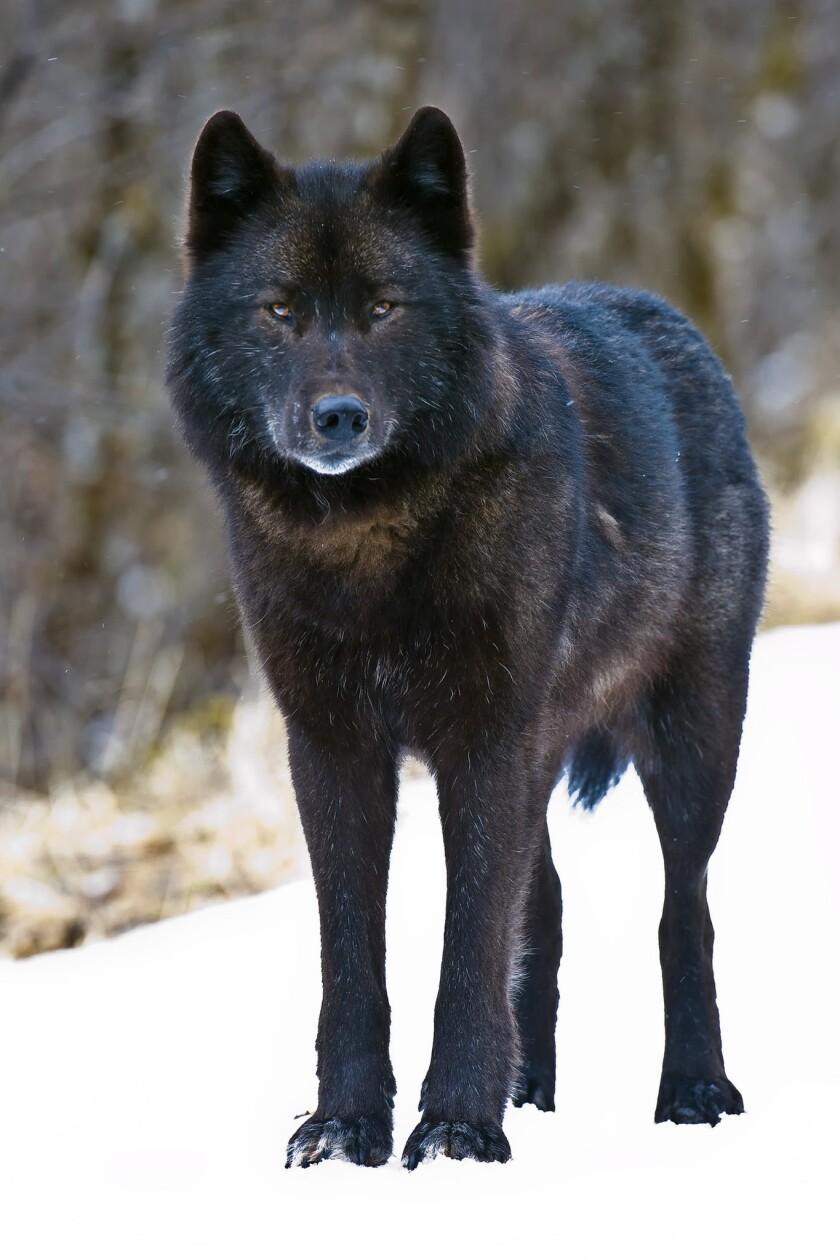 An Alexander Archipelago wolf, found only in southeast Alaska.