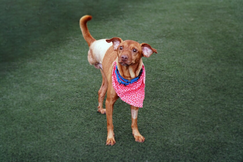Dante, rescued out of Texas, is available for adoption from the San Diego Humane Society.