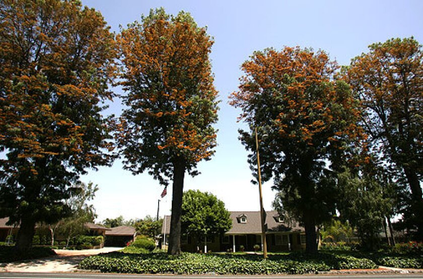 Upland's founders planted silk oak trees along Euclid Avenue for their beauty and resistance to drought.