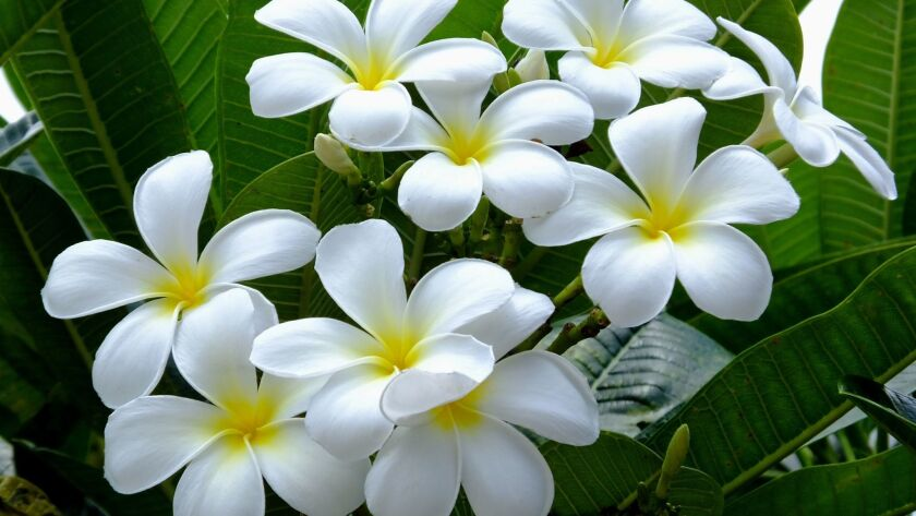 Fragrant plumeria is blooming in August, so it's a good time to shop for new varieties.