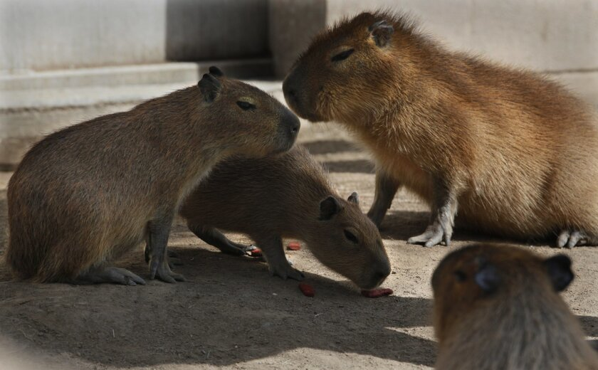 When they're small, the capybara rodents aren't scary at all.