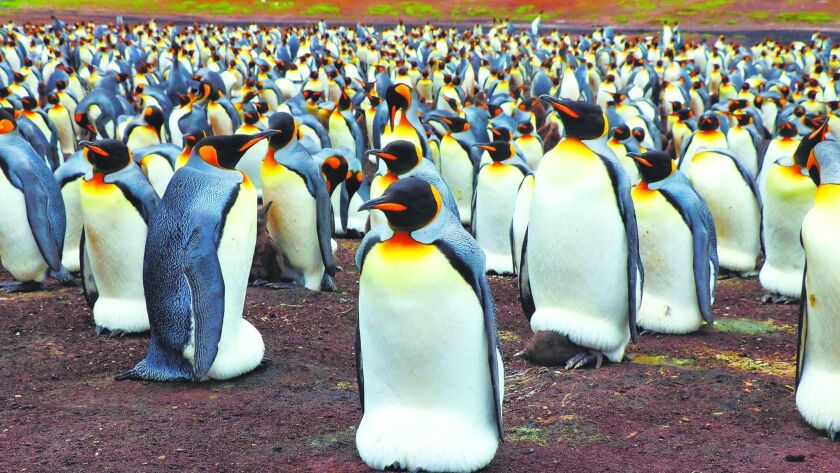 Volunteer Point in the Falkland Islands hosts the largest colony of king penguins outside of Antarct