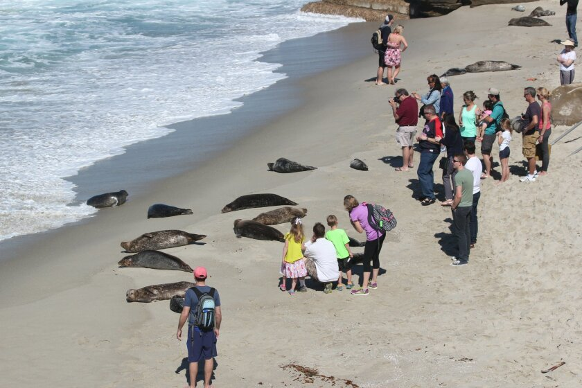 Without a park ranger or Seal Conservancy docent present to advise otherwise, tourists crowd in on harbor seals and their pups at La Jolla's South Casa Beach in this photo from March 5, 2015.