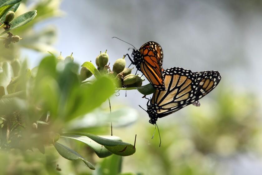 Monarch butterflies in Thousand Oaks in 2012.