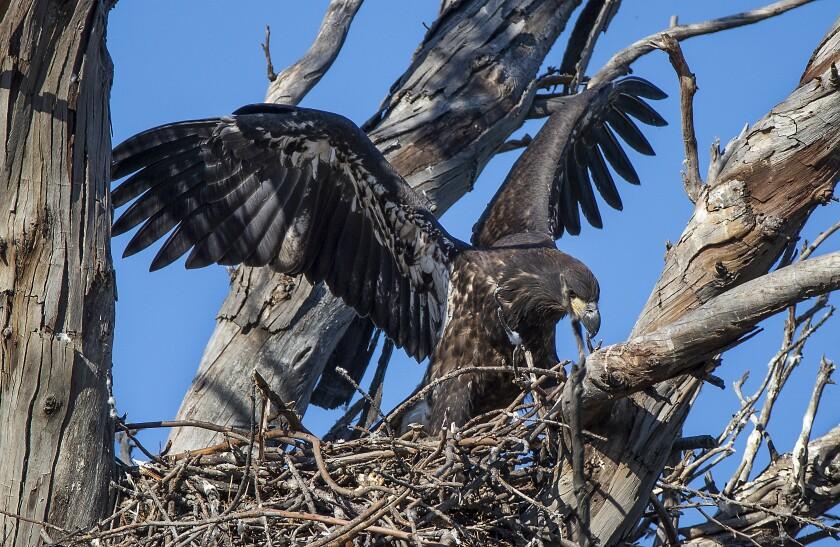 A juvenile bald eagle perches on a branch in north Orange County.