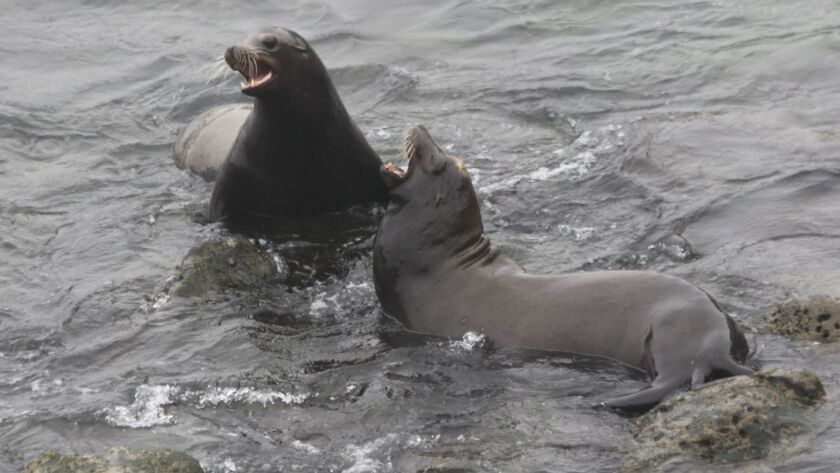 Two sea lions in the waters off La Jolla Cove beach bark and play on July 31.